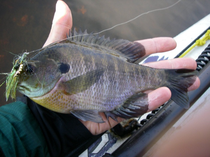 Bluegill fly fish south jersey for Bluegill fly fishing